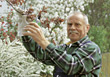 Retiring Senior Pruning His Trees stock image