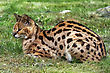 serval laying in the grass stock photo