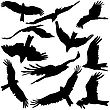 Set Black Silhouettes Of Prey Eagles On White Background. Vector Illustrations