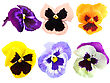 Set Of Motley Pansy Flowers. Isolated On White Background. Close-up. Studio Photography stock photography