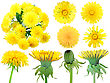Set Of Yellow Dandelion-flowers For Your Design Close-up Studio Photography