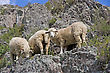 Grassland Sheep On Beautiful Mountain Meadow stock photo