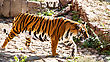 Tigers Siberian Tiger Walking Around His Territory stock image