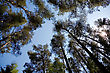 Silhouettes Of Pines On A Background Of The Sky stock image