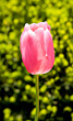 Single Pink Tulip stock photo