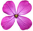 Showy Single Violet Flower.Closeup On White Background. Isolated stock image