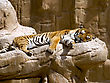 Wildcat Sleeping Tiger stock photography