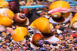 Creeping Small Aquarium Snail Ampulyariya stock image
