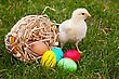 Small Baby Chickens With Colorful Easter Eggs Outdoors At Sunny Day stock photo