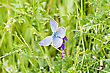 Small Blue Butterfly In A Green Grass stock image