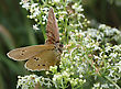 Small Brown Butterfly (Meadow Brown) On The Flower stock photography