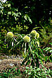 Small Chestnut Tree Sapling With Three Chestnut Tree Fruits At Sunny Summer Day