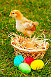 Small Chicken With Colorful Easter Eggs Outdoors At Sunny Day stock image