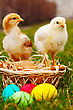Small Chickens With Colorful Easter Eggs Outdoors At Sunny Day stock photography
