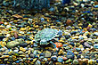 Small Green Creeping Terrapin stock image