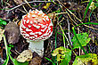 Small Red Amanita With White Spots On A Background Of Soil, Leaves And Green Grass stock image