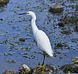 Snowy Egret In Florida Wetlands stock image