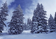 Snowy Pine Trees stock photo