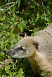 South American Coati, Or Ring-tailed Coati (Nasua Nasua), Species Of Coati From Tropical And Subtropical South America stock image