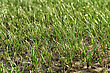 Sparse Tufted Grass Found Growing In Arid And Semi-dessert Regions stock photography