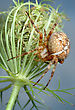 Spider Araneus Diadematus On The Plant stock photo