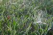 Cobweb Spider Web In Green Grass With Morning Dew Drops stock photography
