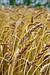 Spikelets Of Wheat Against The Background Of Golden Wheat Fields, Green Trees And Blue Sky stock photo