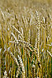 Spikelets Of Wheat Against The Background Of A Golden Wheat Field stock photo