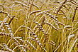 Spikelets Of Wheat Against The Background Of A Wheat Field stock photography