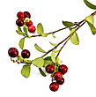 Sprig Of Red And Burgundy Lingonberry With Green Leaves stock photo
