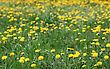 Spring Background Of Yellow Dandelion Meadow stock photography