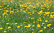 Spring Background Of Yellow Dandelion Meadow stock image