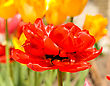 Spring Comes. Red Tulip Bud And Flowers On Backgorund stock photo