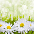 Spring Daisy Field. Easter Card Background stock photo
