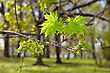 spring maple leaves stock photography