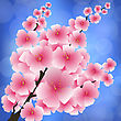 Spring Pink Flowers Isolated On Blurred Blue Background. Sakura Japan Cherry Tree. Blooming Branch
