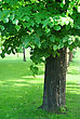 Spring Tree With Green Foliage stock image