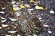 Spruce Grouse Close Up Rocky Mountains Canada stock photo