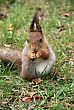 Squirrel Is On A Grass And Eats A Nut stock photography