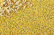 Stalks Of Oats On The Background Texture Of Oat Grains stock photo