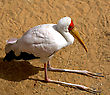 Seating Stork on the sand stock photography