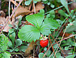 Strawberries Closeup With Green Leaves stock photography