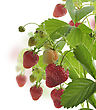Strawberry Plant With Berries stock photography