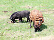 Suffolk Baby Sheep With Mother Sheep On The Farm stock photo