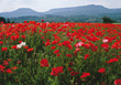 Summer Field with Red Poppy Flowers stock photography