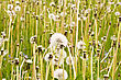 Summer Meadow Full Of Wild Fluffy Dandelions stock photography