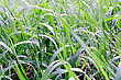 Summer Picture Of Green Saturate Grass Texture stock photo