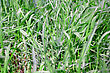 Dewy Summer Picture Of Green Saturate Grass Texture stock photo