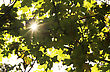 Sun's Rays Filtering Through The Maple Branches stock image