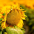 Sunflower, Abstract Macro Backgrounds For Your Design stock photo